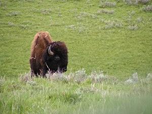 Bison, Karen Snyder, K2 Radio
