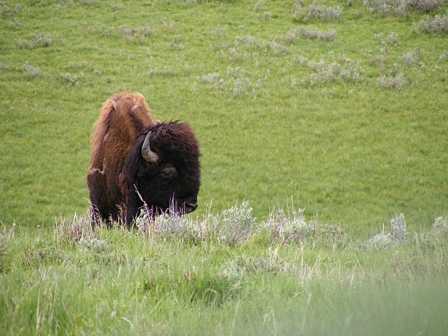 Deal allows slaughter of wild bison migrating from Yellowstone National Park