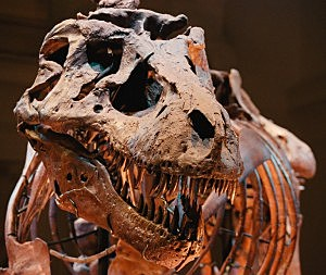 Tyrannosaurus rex named Sue, Tim Boyle, Newsmakers, Getty Images