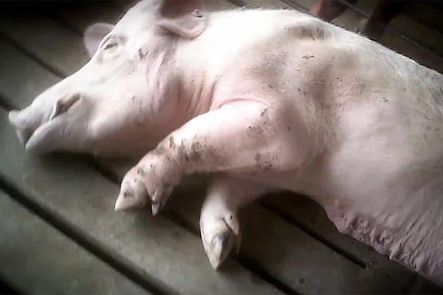 Pig Farm Investigation