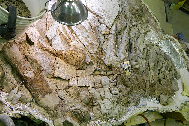 Lee Rex the Tyrannosaurus Rex specimen at Casper College's Tate Museum