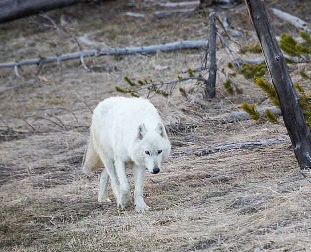 Photo: Courtesy Yellowstone National Park